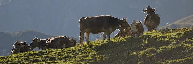 alpen kuehe weidehaltung